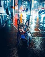 pug preto com guia na rua molhada da cidade durante a noite