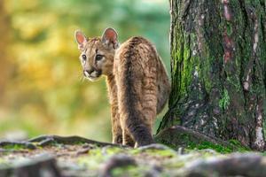 jovem puma americana rasteja pela floresta