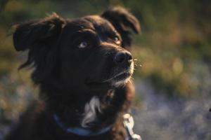 cachorro de pêlo comprido preto e branco
