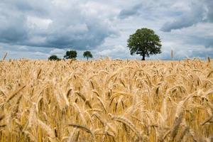 fotografia de paisagem de campo de trigo