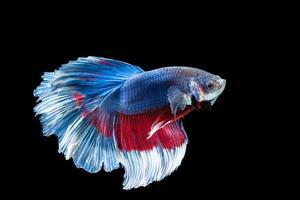 peixe betta meia-lua com listras azuis e vermelhas foto