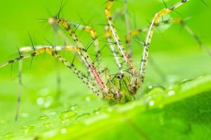 macro aranha verde pernas longas em uma cena de folhas verdes