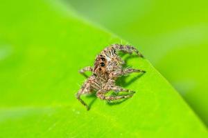 aranha marrom em uma folha verde foto