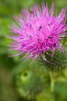 besouros de pólen preto em cardo foto