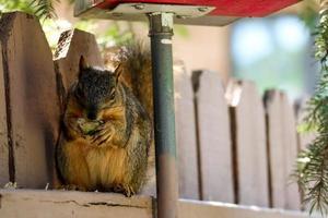 esquilo marrom em um poste de madeira verde comendo uma noz foto