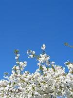 árvore de flor de cerejeira branca