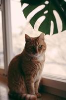 gato malhado laranja