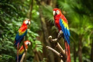 papagaios de arara vermelha foto