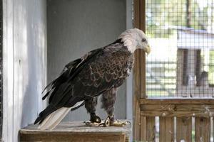 águia em reabilitação foto