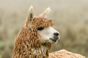 alpaca foto