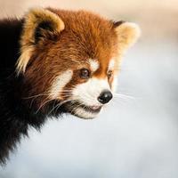 panda vermelho iv foto