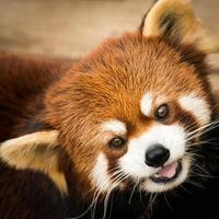 panda vermelho iii foto
