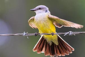Kingbird ocidental foto