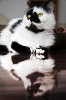 gato macho preto e branco manchado foto