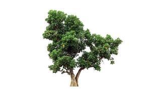 árvore da natureza verde isolada no fundo branco