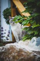gato cinza no jardim