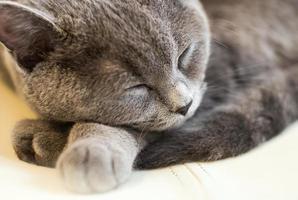 lindo gato britânico de pêlo curto dormindo foto