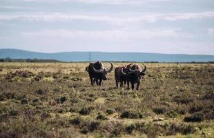 cidade do cabo, áfrica do sul, 2020 - búfalo de água no campo durante o dia