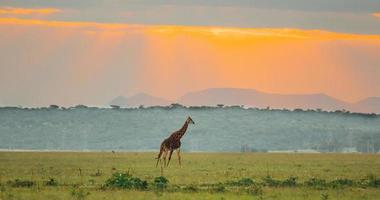 girafa à distância ao pôr do sol