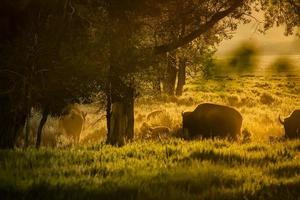 rebanho de búfalos pastando ao amanhecer nos tetons foto