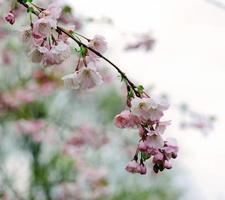 close-up de flores de cerejeira