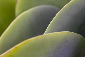 close-up de uma suculenta verde