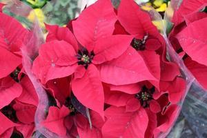 um grupo de flores vermelhas