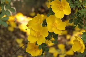 um grupo de flores amarelas foto