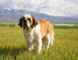 st. cachorro bernard foto