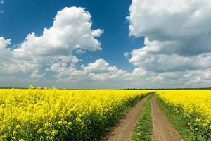 estrada terrestre em campo de colza foto