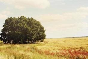 campo de grama dourada em um dia ensolarado e ventoso foto