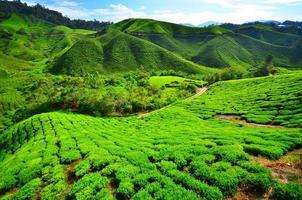 campos de plantação de chá na montanha foto