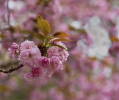 flores de cerejeira em detalhes
