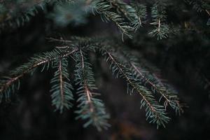 fotografia de foco superficial de pinheiro durante o dia