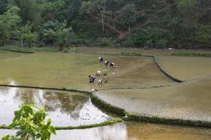 Vietnã do Norte, 2017- Agricultores plantam arroz em um campo