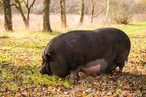 porco em um campo