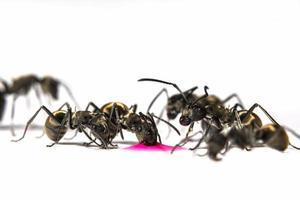 formigas pretas em fundo branco foto