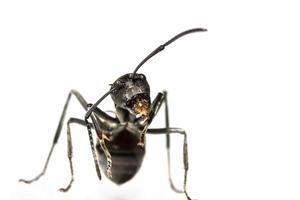 formiga preta em fundo branco foto