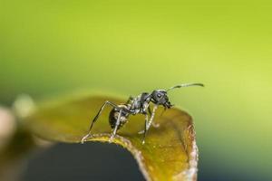formiga preta em uma folha foto
