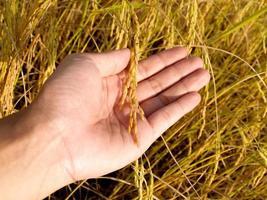 colheita madura de arroz dourado foto