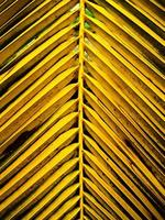 folhas de coco naturais brilhantes foto