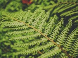 samambaia folhas fundo verde foto