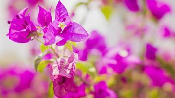 flores de buganvília rosa desabrochando