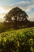 árvore em pé no meio de uma plantação de chá