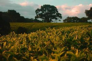 plantação de chá ao pôr do sol