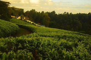 andar na plantação de chá