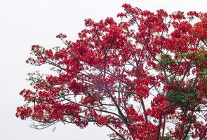 bela árvore de flores de macaco foto