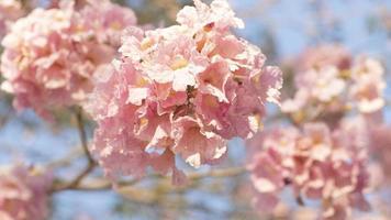 foco suave de flores rosa desabrochando foto