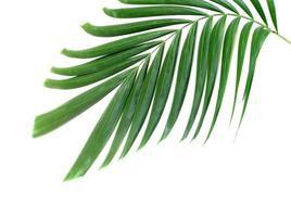 folha de palmeira verde isolada no fundo branco foto