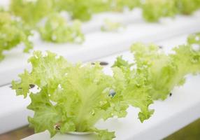 alface verde crescendo em uma estufa foto